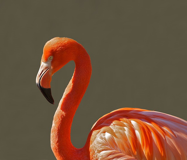 Flamingo, Bird, Pink, Tropical, Color, Macro, Close-up