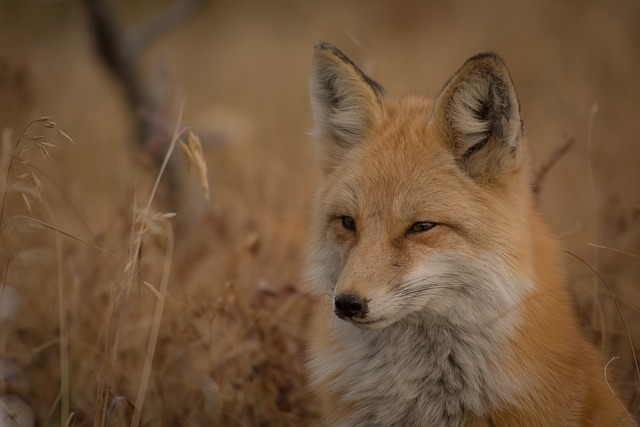 Animal, Fox, Canine, Carnivore, Close-up, Fur, Grass