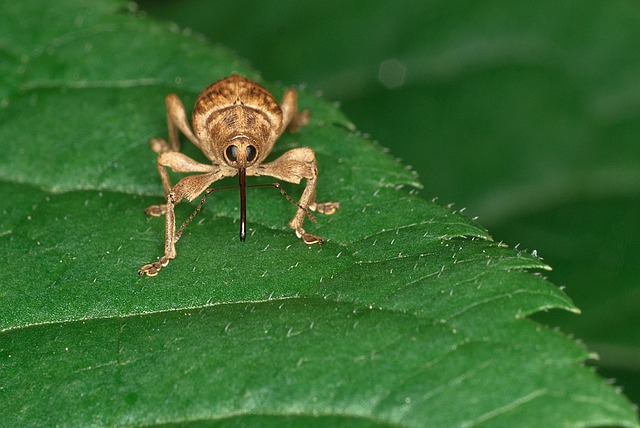 Weevil, Beetle, Insect, Curculionoidea, Bug, Close-up