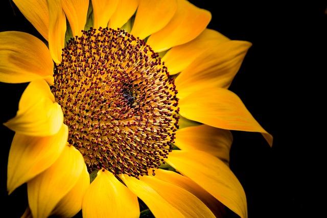 Nature, Flower, Plant, Petal, Sunflower, Close-up