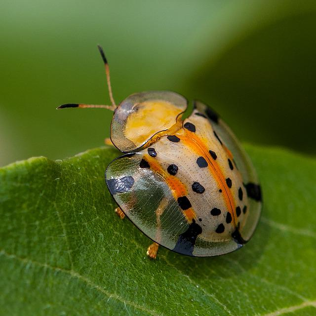 Insects, Ladybug, Close-up, Wing, Bugs