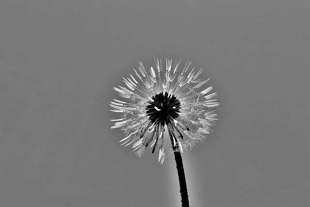 Dandelion, S W, Closeup, Blossom