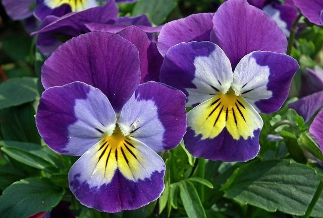Flower, Pansy, Nature, Plant, Garden, Leaf, Closeup