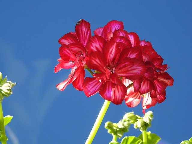 Geranium, Flower, Full Bloom, Closeup