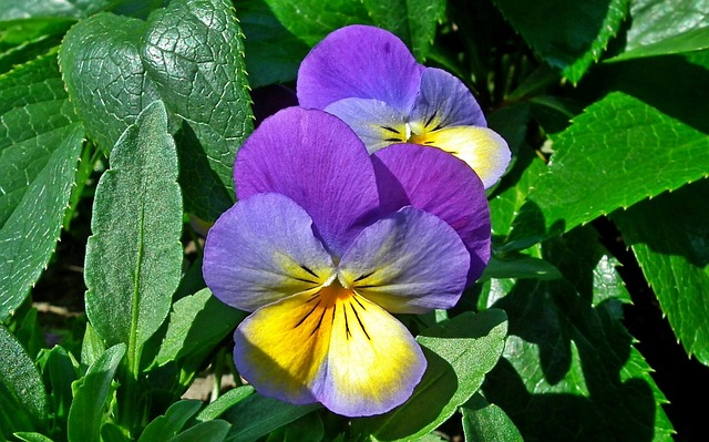 Nature, Leaf, Garden, Plant, Flower, Pansies, Closeup