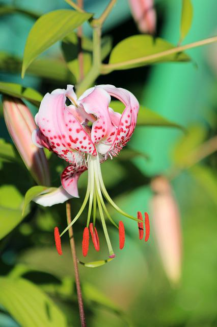 Lily, Flower, Pink Lily, Plant, Nature, Garden, Closeup