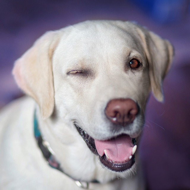 Dog, Labrador, Jolly, Winks, View, Closeup