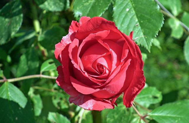 Rose, Red, Flower, Nature, Leaf, Plant, Love, Closeup