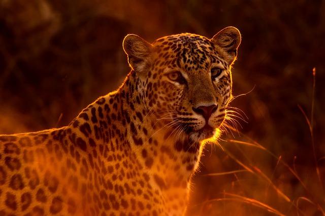 Leopard, Animal, Wildlife, Spots, Closeup, Macro, Hdr