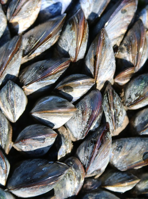 Muscles, Sealife, Seaside, Closeup, Nature, Sea, Shell