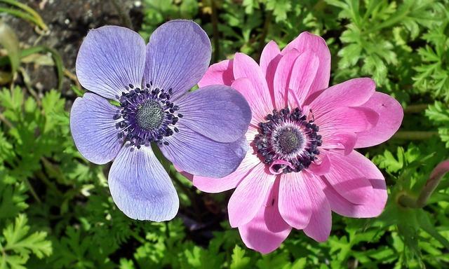 Flower, Anemone, Plant, Nature, Color, Summer, Closeup