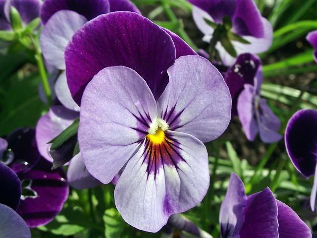 Flower, Pansy, Garden, Plant, Nature, Closeup