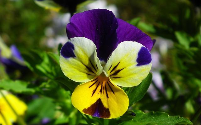 Nature, Flower, Pansy, Leaf, Plant, Garden, Closeup