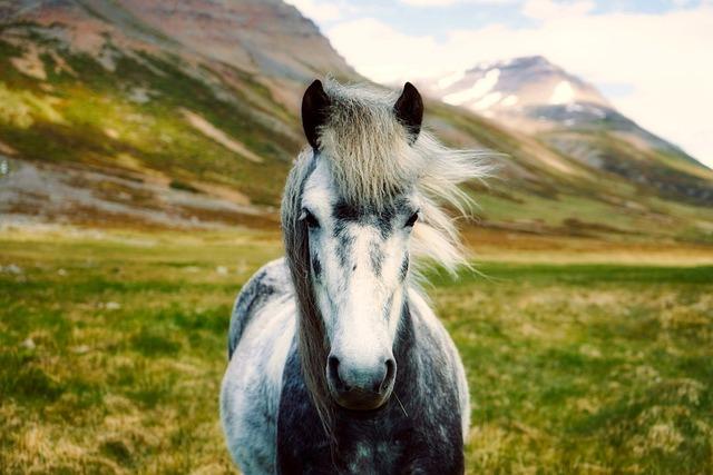 Iceland, Horse, Pony, Wild, Closeup, Mountains
