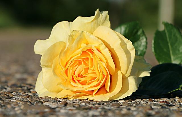 Rose, Yellow, Flower, Asphalt, One, Dropped, Closeup