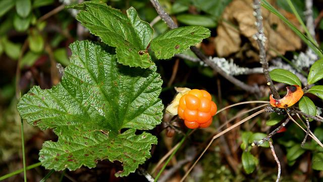 Cloudberry, Polish, Swamp, Berry