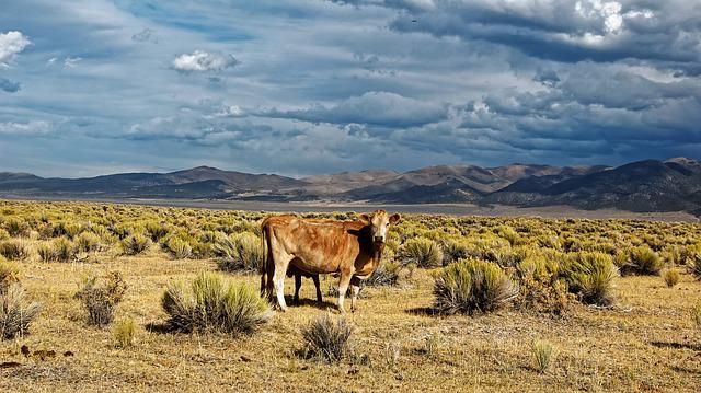 Nevada, Usa, Ione, Blue, Sky, Desert Cow, Clouds