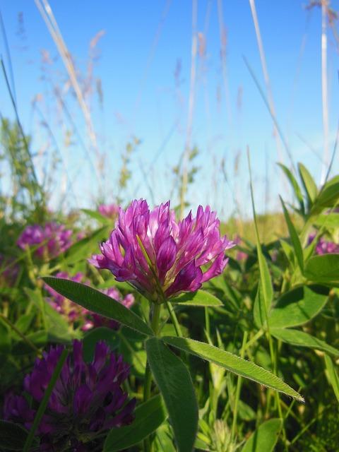 Trifolium Pratense, Clover Flower, Red Clover, Close-up