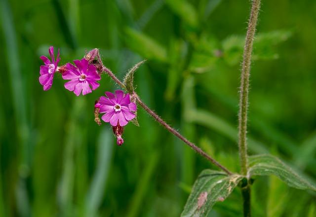 Campion, Cloves, Flower, Purple, Red Campion, Violet