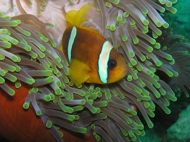 Clown Fish, Diving, Eritrea, Red Sea, Nemo