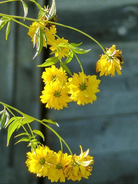 Free photo cluster garden yellow flora plant hanging flowers max pixel mightylinksfo