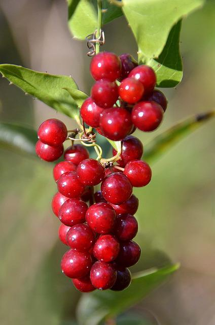 Cluster, Red, Berries, Fall, Plant