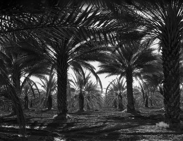 Coachella Valley, California, 1940s, Date Palms