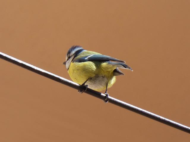 Bird, Chickadee, Cable, Coal Mallarenga, Parus Major