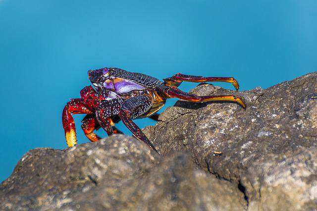 Crab, Rock Crab, Atlantic, Meeresbewohner, Coast