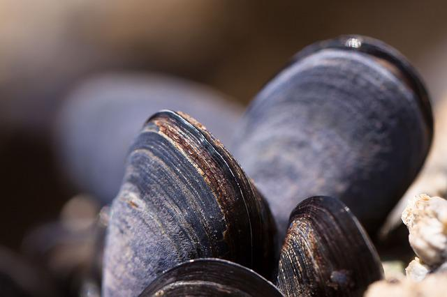 Mussels, Shells, Mytilus, Watt Area, Coastal Region