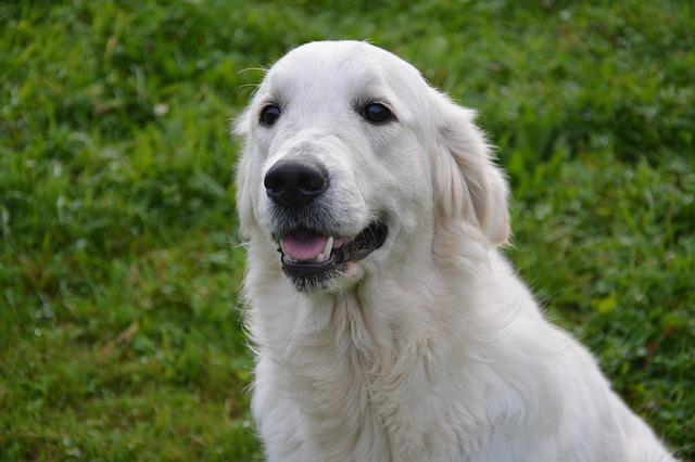 Dog, Dog Golden Retriever, Coat White, Domestic Animal