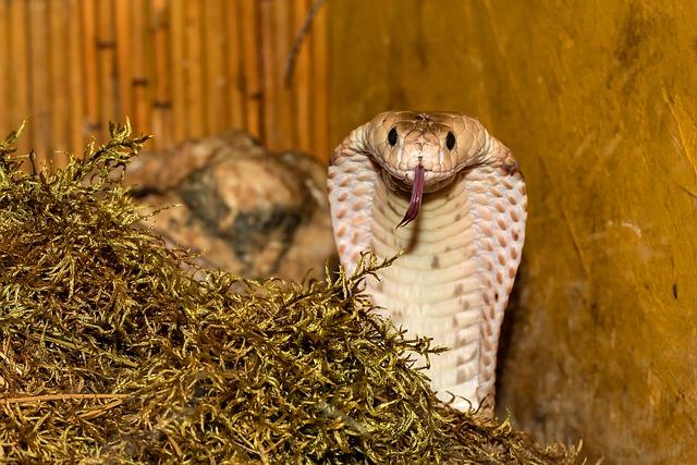Snake, Venomous Snake, Cobra, Close Up, Reptile