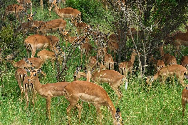 South Africa, Park, Kruger, Cobs, Antelopes, Herd, Wild