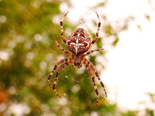Spider, Arachnid, Spider's Web, Insect, Cobweb