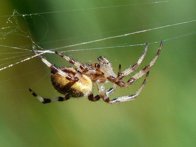 Spider, Arachnid, Bottom, Cobweb, Oakleaf Orb Weavers