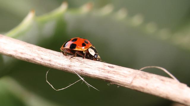 Insect, Nature, Beetle, Coccinellidae, Wild Life