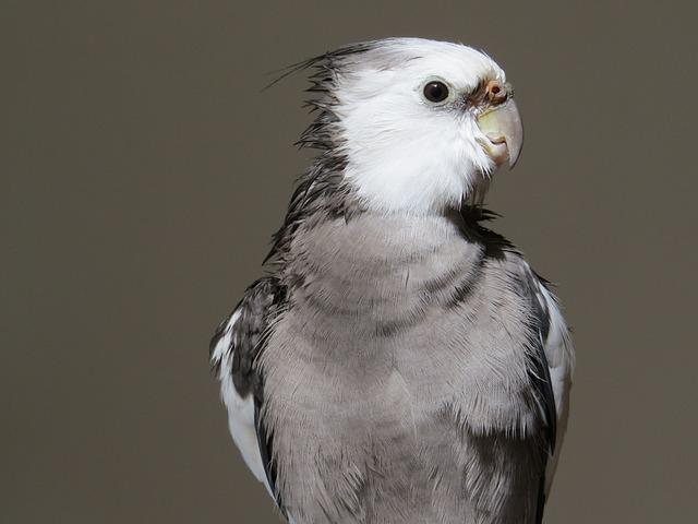 Cockatiel, Birds, Animal, Animal World, Birdie
