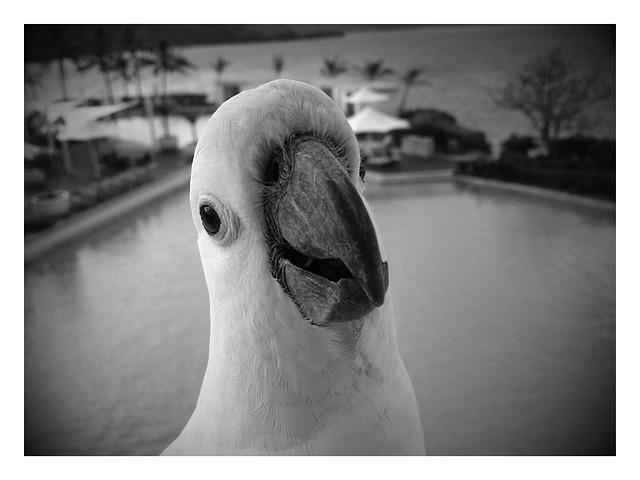Cockatoo, White, Black, Portrait, Funny, Bird, Animal