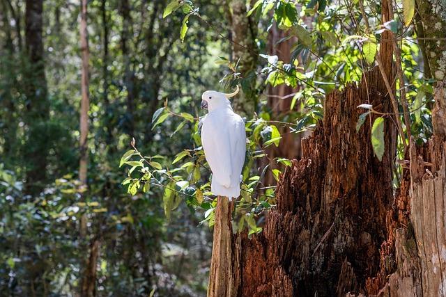 Sulphur-crested Cockatoo, Cockatoo, Bird, Wildlife