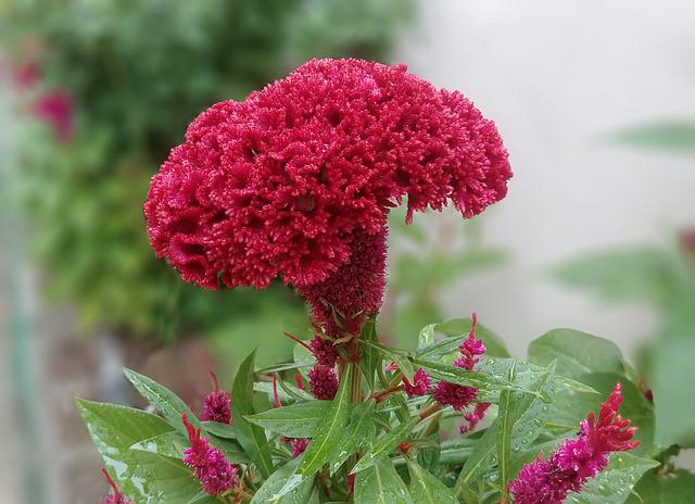 Cockscomb, Flowers, Red Flower, Red, Beautiful, Close