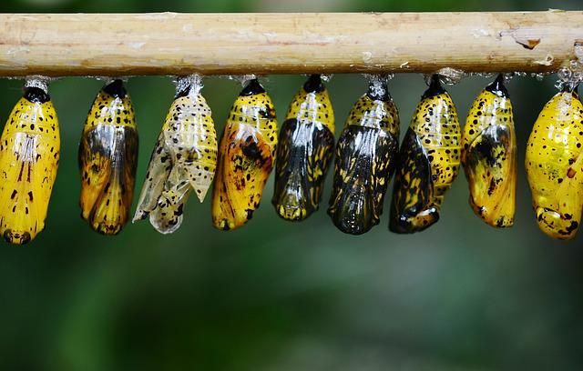 Cocoon, Butterfly, Insect, Animal, Macro, Larva, Wing