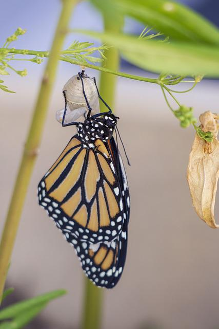 Butterfly, Cocoon, Metamorphosis, Insect, Wildlife