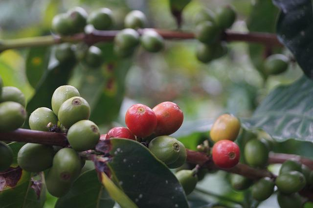 Coffee, Coffee Bean, Coffee Without Harvesting