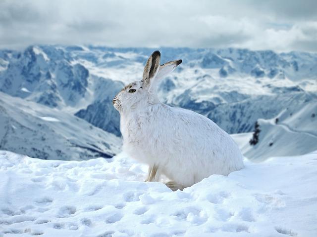 Rabbit, Hare, Bunny, Snow, Winter, Ice, Cold, Mountain