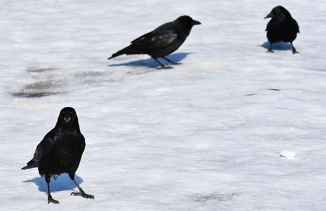 Crow, Snow, Winter, Cold, Raven Bird, Animal, Nature