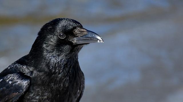 Common Raven, Raven, Snow, Winter, Cold, Raven Bird