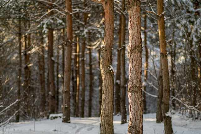Forest, Trees, Winter, Snow, Cold, Birch, Woods