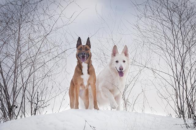 Winter, Snow, Cold, Dog, Canidae, White Shepherd