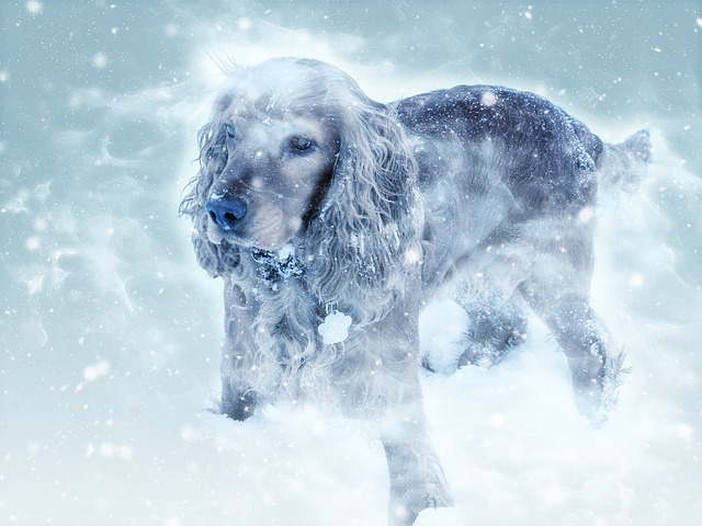 Dog, Cocker Spaniel, Winter, Snow Fall, Cold, Mammal