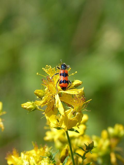 Beetle, Coleoptera, Black And Orange, St John's Wort